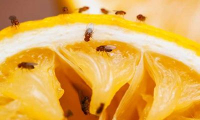 6 Great Ways to Banish Fruit Flies From Your House
